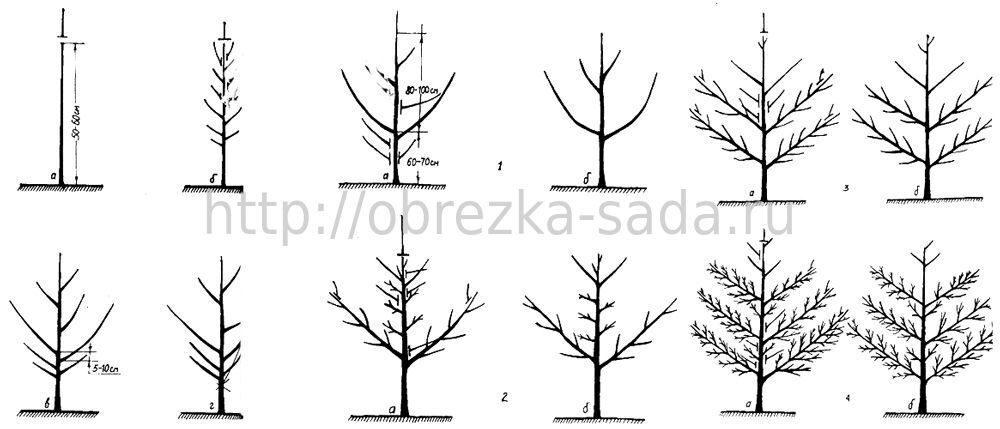 Весенняя обрезка плодовых деревьев схема обрезки саженцев груши.