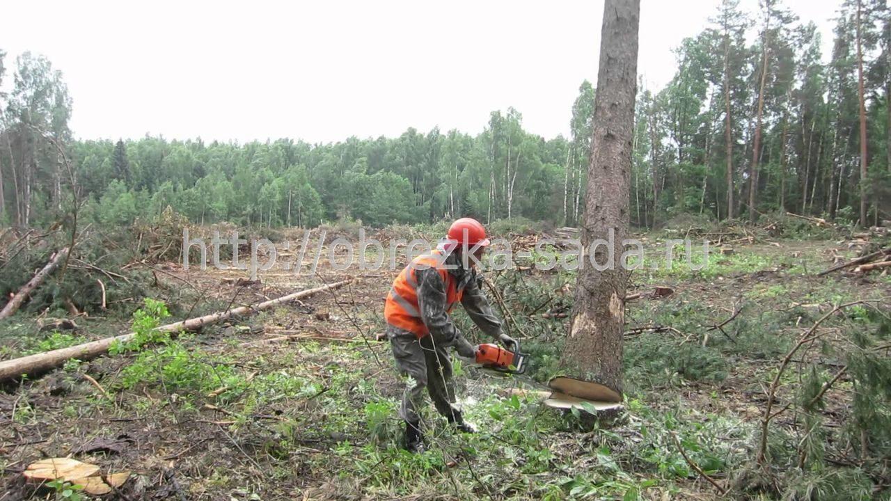 Лес старые деревья вырубка