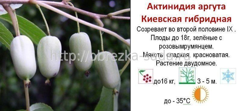 Актинидия выращивание и уход в сибири 73
