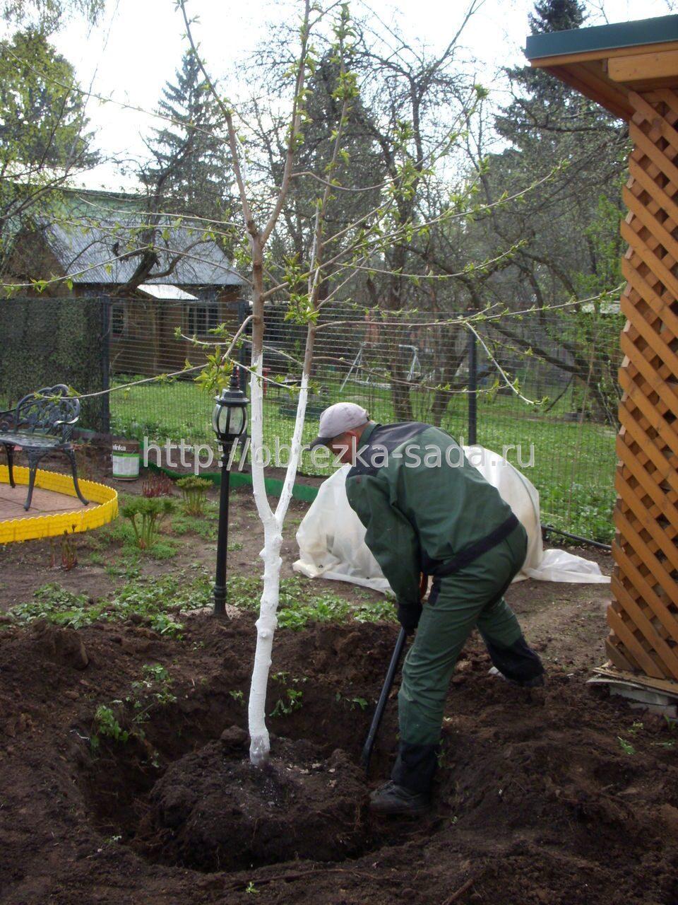 Выращивание саженцев на плодовом дереве 153