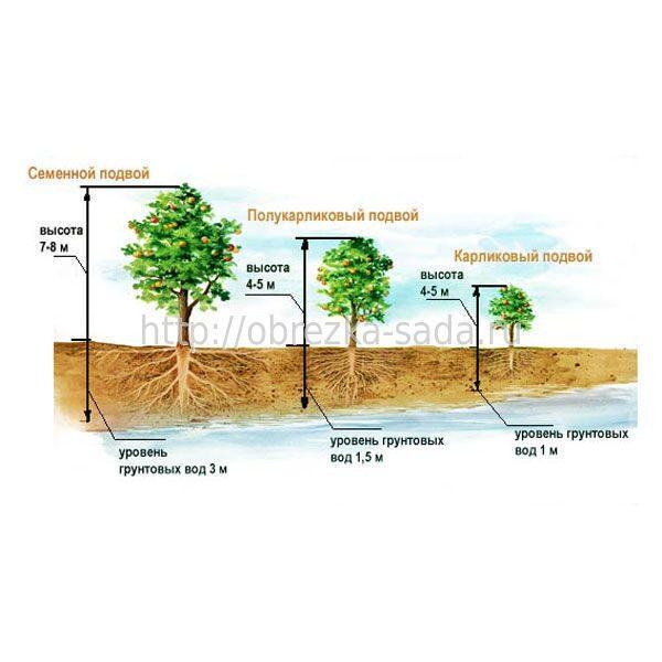 На каком расстоянии от сосны можно сажать плодовые деревья 9