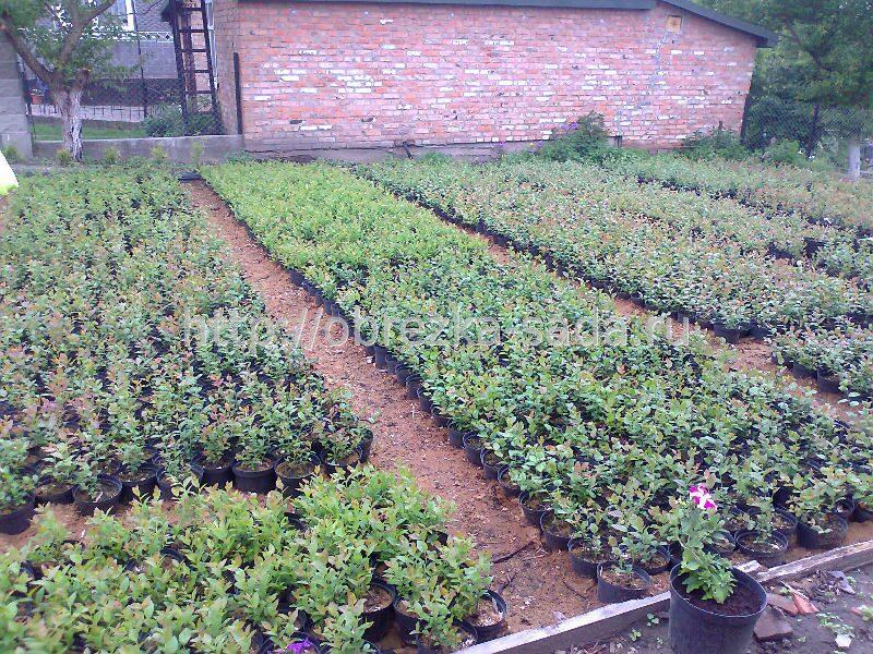 Выращивание черники в саду 75