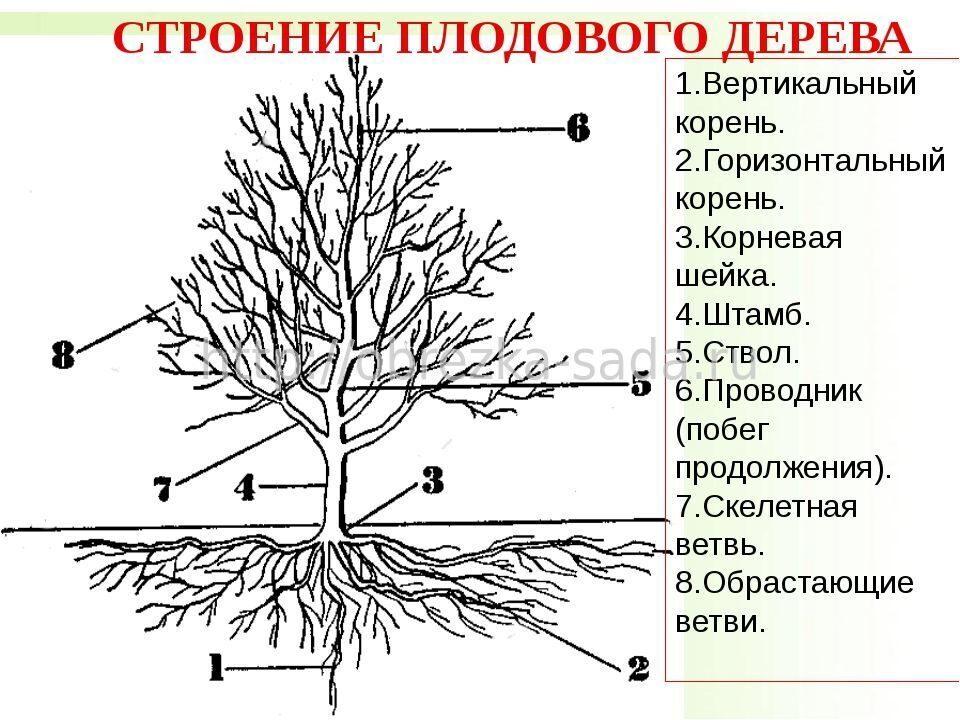 корни яблони находятся на повехости России