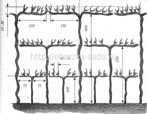 Схема посадки винограда кодрянка