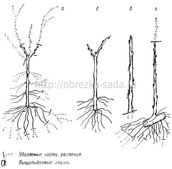 Черенки жимолости - размножение Сайт о саде, даче и комнатных растениях 852