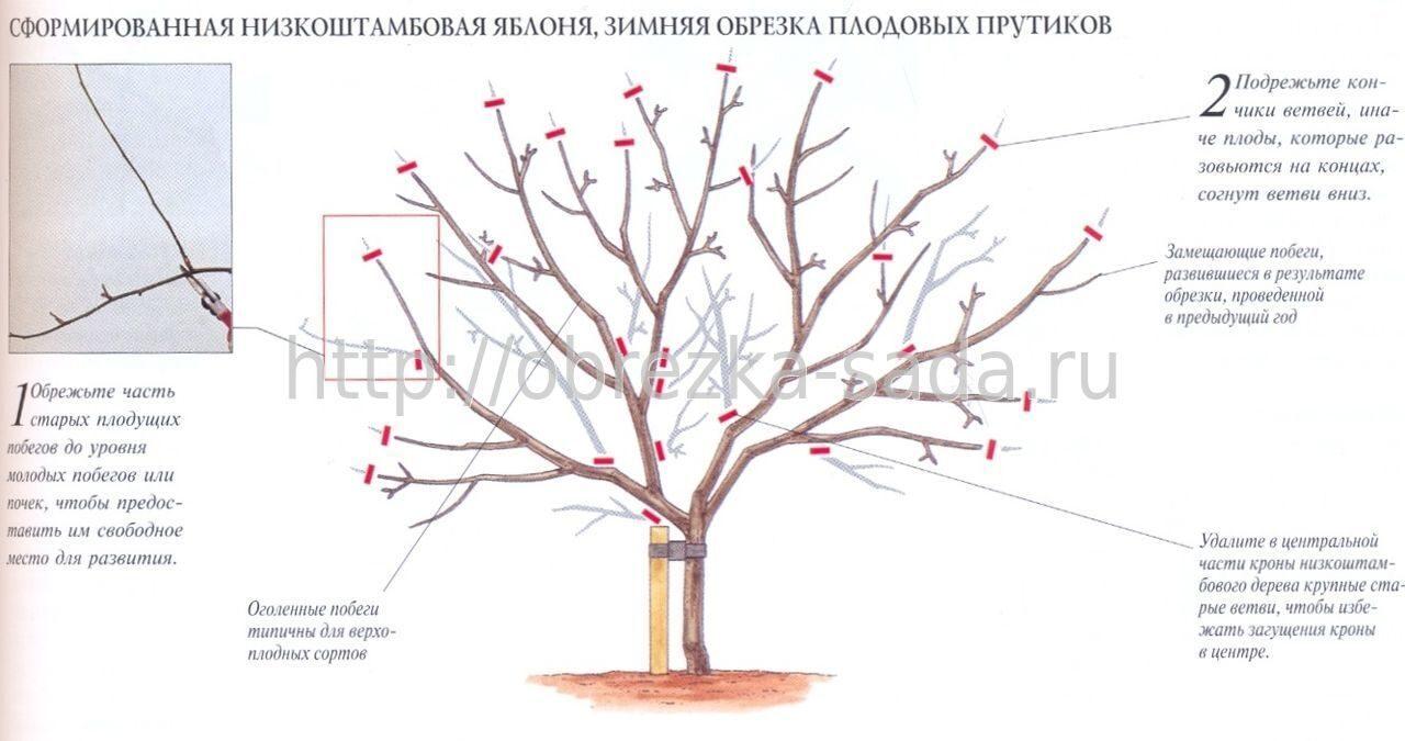 Как правильно обрезать яблоню колоновидную