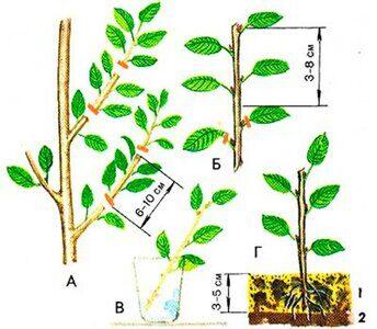 Размножение войлочной вишни черенками весной